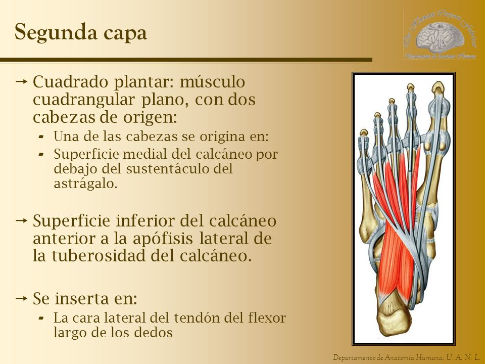 Departamento de Anatomía Humana, U. A. N. L. Segunda capa Cuadrado plantar: músculo cuadrangular plano, con dos cabezas de origen: - Una de las cabeza