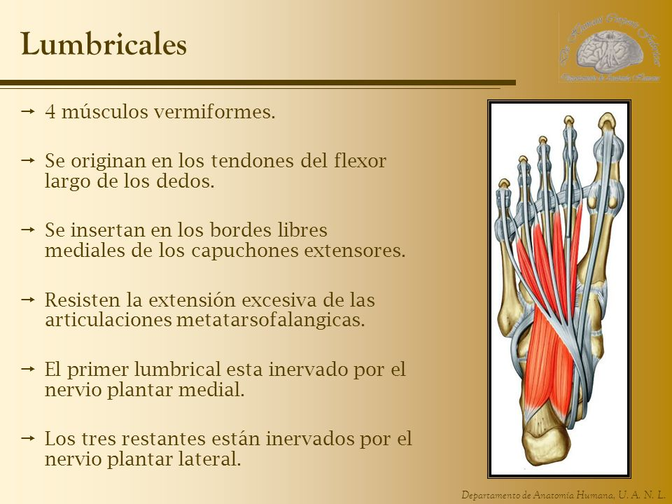 Departamento de Anatomía Humana, U. A. N. L. Lumbricales 4 músculos vermiformes. Se originan en los tendones del flexor largo de los dedos. Se inserta