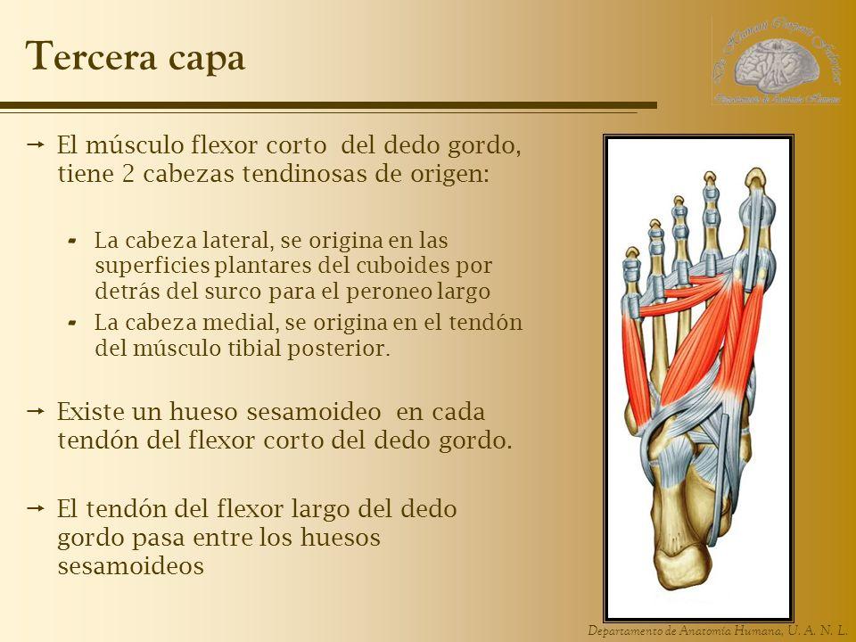 Departamento de Anatomía Humana, U. A. N. L. Tercera capa El músculo flexor corto del dedo gordo, tiene 2 cabezas tendinosas de origen: - La cabeza la