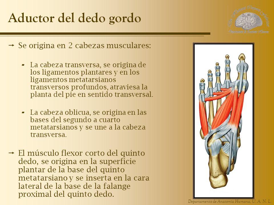 Departamento de Anatomía Humana, U. A. N. L. Aductor del dedo gordo Se origina en 2 cabezas musculares: - La cabeza transversa, se origina de los liga