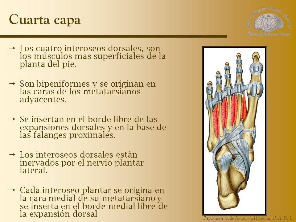 Departamento de Anatomía Humana, U. A. N. L. Cuarta capa Los cuatro interoseos dorsales, son los músculos mas superficiales de la planta del pie. Son
