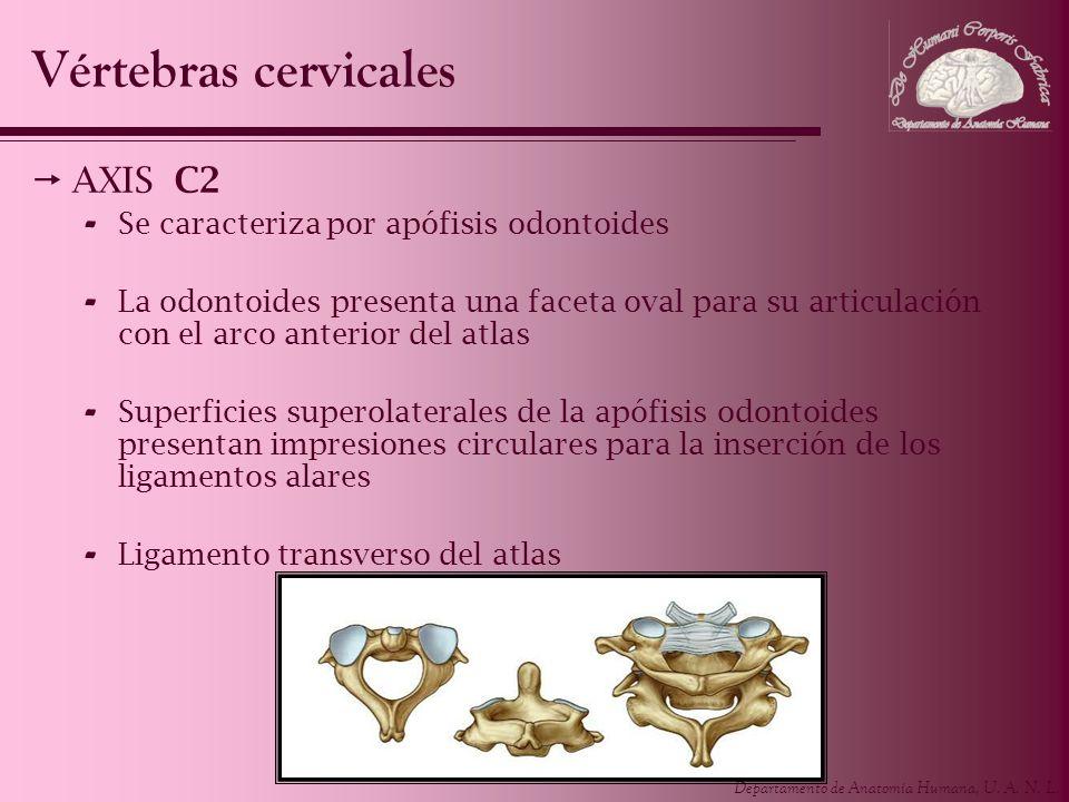 Departamento de Anatomía Humana, U. A. N. L. Vértebras cervicales AXIS C2 - Se caracteriza por apófisis odontoides - La odontoides presenta una faceta