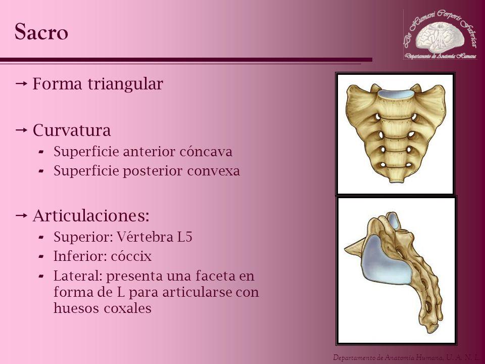 Departamento de Anatomía Humana, U. A. N. L. Sacro Forma triangular Curvatura - Superficie anterior cóncava - Superficie posterior convexa Articulacio