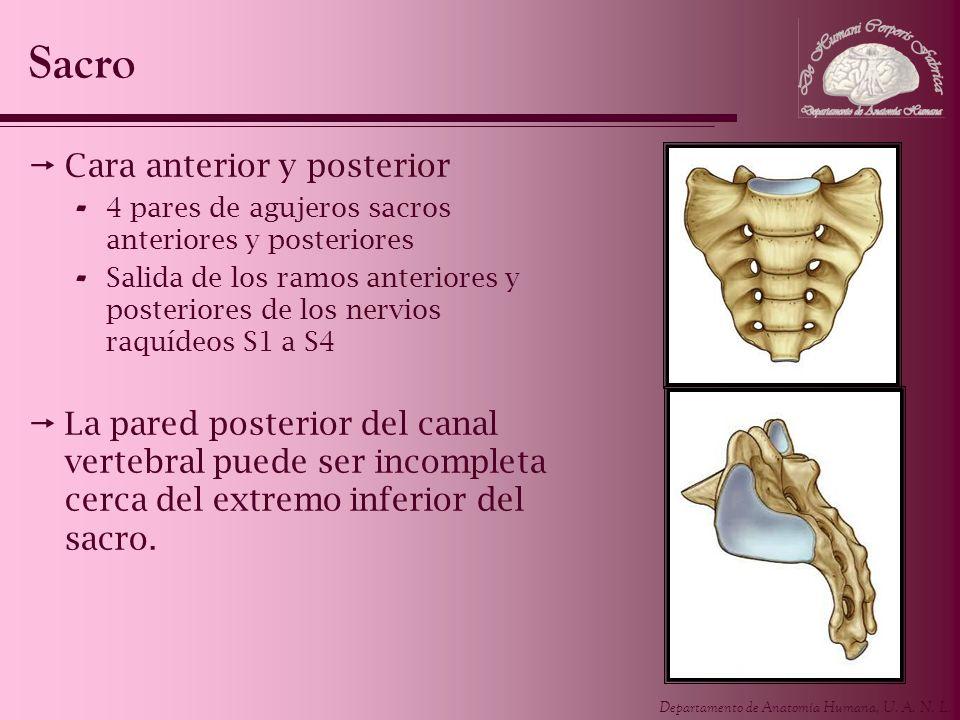 Departamento de Anatomía Humana, U. A. N. L. Sacro Cara anterior y posterior - 4 pares de agujeros sacros anteriores y posteriores - Salida de los ram