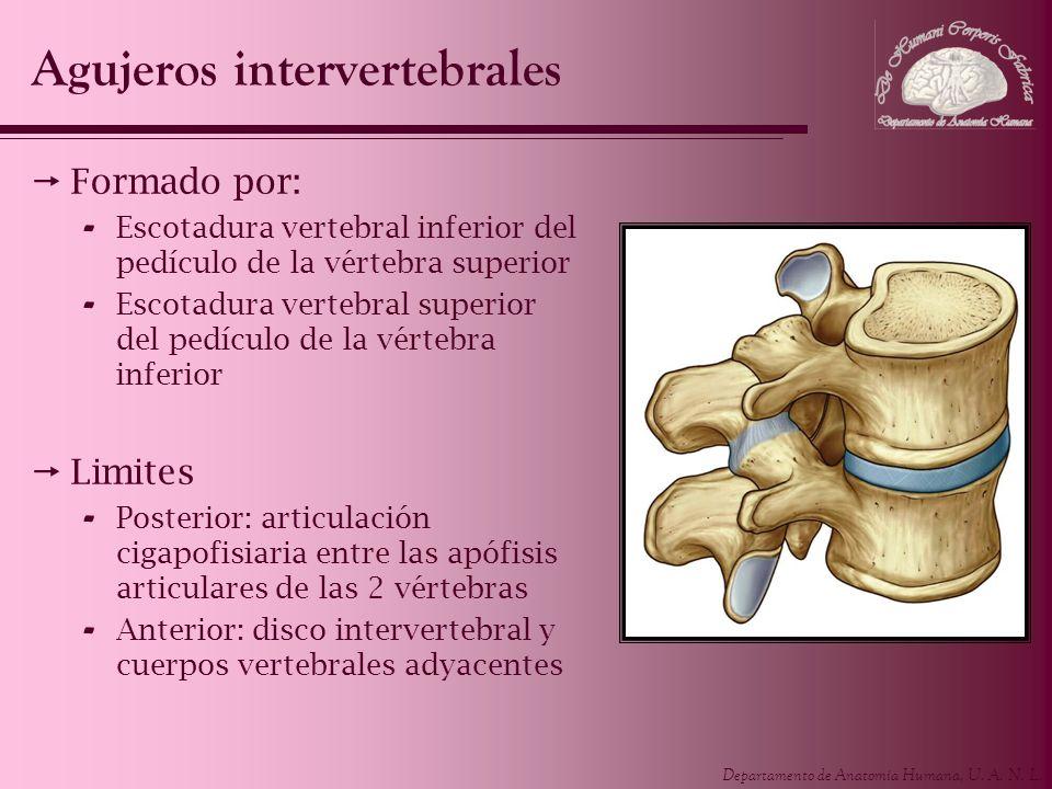 Departamento de Anatomía Humana, U. A. N. L. Agujeros intervertebrales Formado por: - Escotadura vertebral inferior del pedículo de la vértebra superi