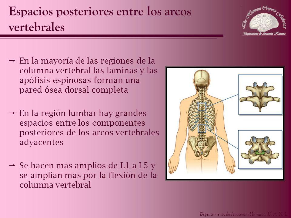 Departamento de Anatomía Humana, U. A. N. L. Espacios posteriores entre los arcos vertebrales En la mayoría de las regiones de la columna vertebral la