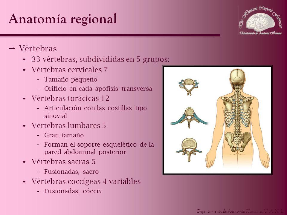 Departamento de Anatomía Humana, U. A. N. L. Anatomía regional Vértebras - 33 vértebras, subdivididas en 5 grupos: - Vértebras cervicales 7 -Tamaño pe