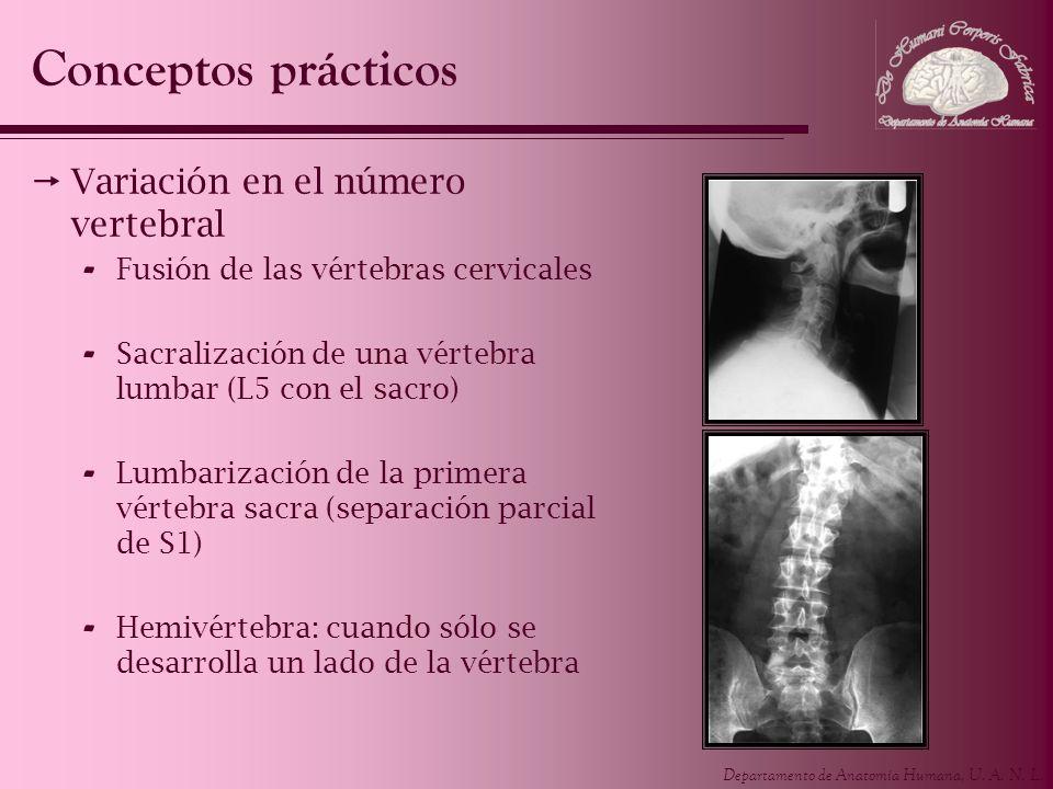 Departamento de Anatomía Humana, U. A. N. L. Conceptos prácticos Variación en el número vertebral - Fusión de las vértebras cervicales - Sacralización
