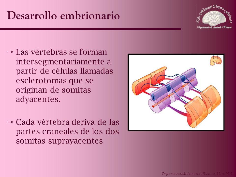 Departamento de Anatomía Humana, U. A. N. L. Desarrollo embrionario Las vértebras se forman intersegmentariamente a partir de células llamadas esclero