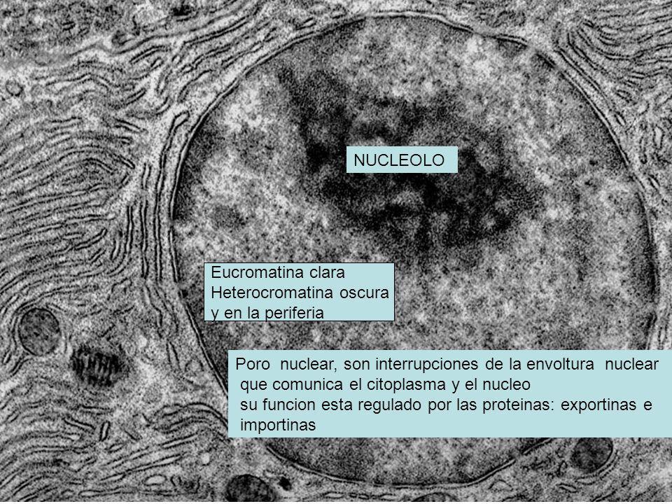 NUCLEOLO Poro nuclear, son interrupciones de la envoltura nuclear que comunica el citoplasma y el nucleo su funcion esta regulado por las proteinas: e