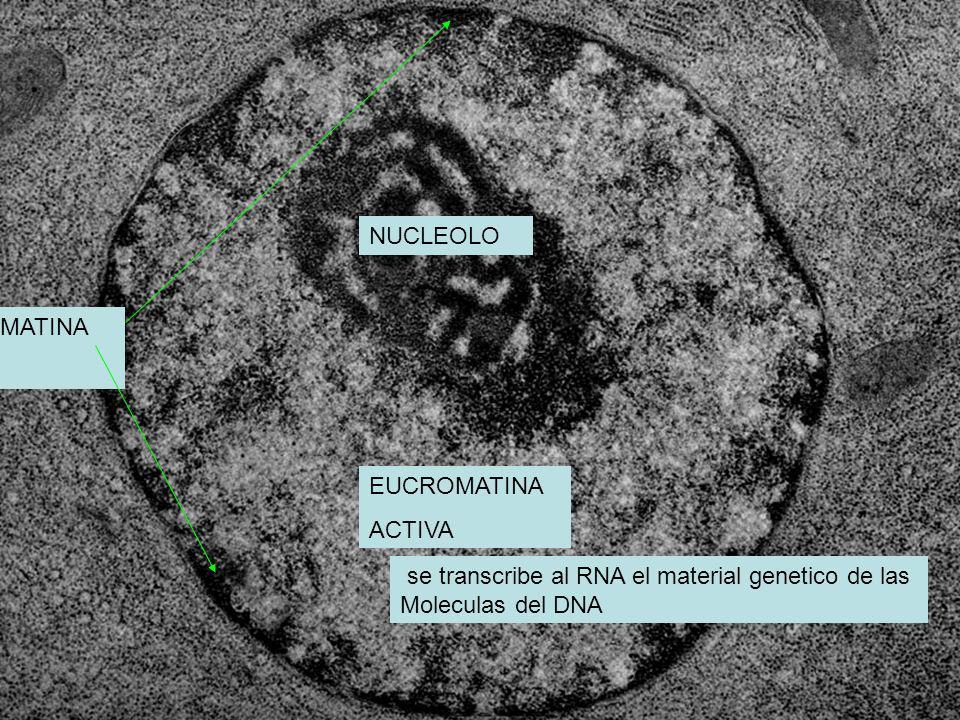 CENTRO FIBRILAR DE TINCION PALIDA PARTE FIBROSA sintetiza rRNa del nucleolo por la polimerasa de RNA I PARTE GRANULOSA Nucleolo: estructura sin membrana Limitante situada adentro del nucleo y participa en la sintesis de RNA : CONTIENE DNA INACTIVO RNA EN TRANSCIPCION SE ENSAMBLAN SUBUNIDADES RIBOSOMALES EN TRANSCRIPCION