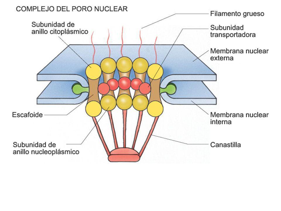 ANAFASE METAFASE PROFASE se alinean los cromosomas en el Ecuador.