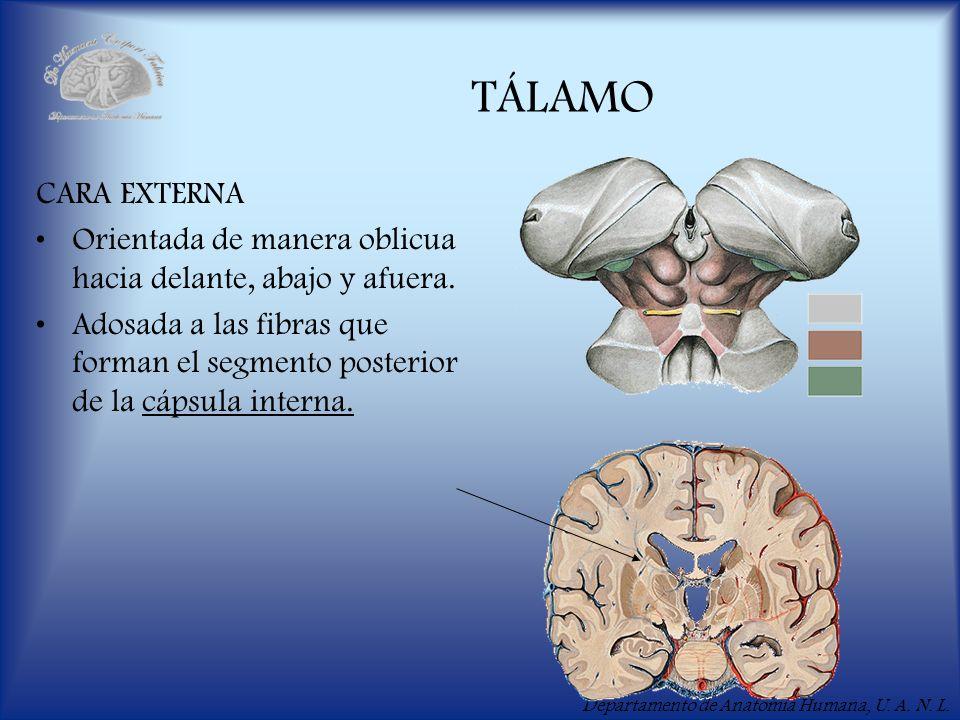 Departamento de Anatomía Humana, U. A. N. L. TÁLAMO CARA EXTERNA Orientada de manera oblicua hacia delante, abajo y afuera. Adosada a las fibras que f