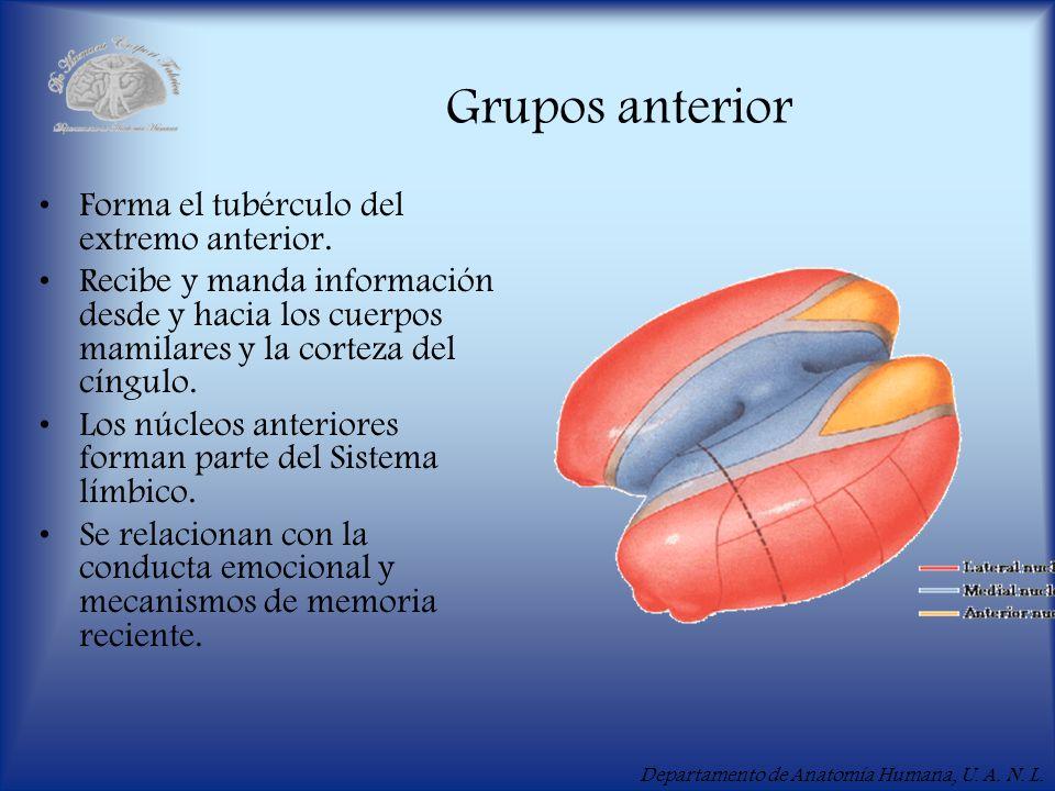 Departamento de Anatomía Humana, U. A. N. L. Grupos anterior Forma el tubérculo del extremo anterior. Recibe y manda información desde y hacia los cue