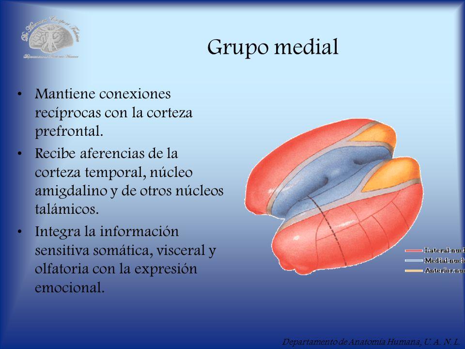 Departamento de Anatomía Humana, U. A. N. L. Grupo medial Mantiene conexiones recíprocas con la corteza prefrontal. Recibe aferencias de la corteza te