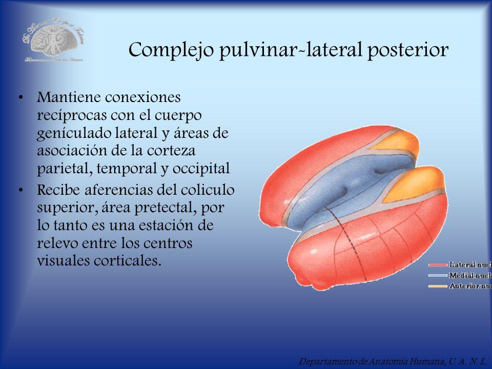 Departamento de Anatomía Humana, U. A. N. L. Complejo pulvinar-lateral posterior Mantiene conexiones recíprocas con el cuerpo genículado lateral y áre