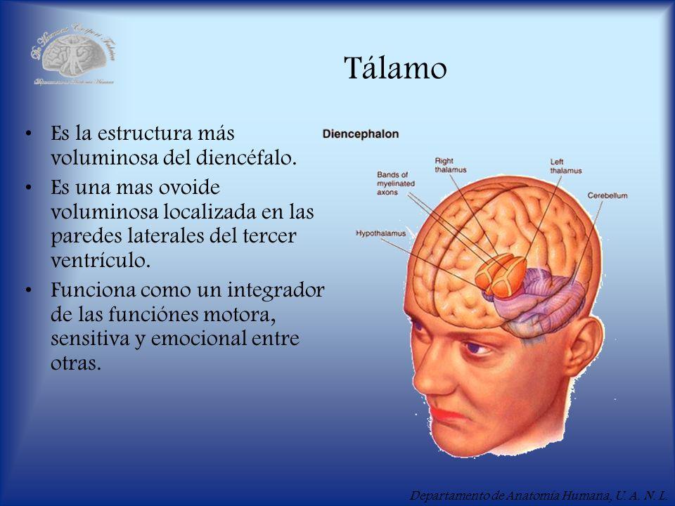 Departamento de Anatomía Humana, U. A. N. L. Tálamo Es la estructura más voluminosa del diencéfalo. Es una mas ovoide voluminosa localizada en las par