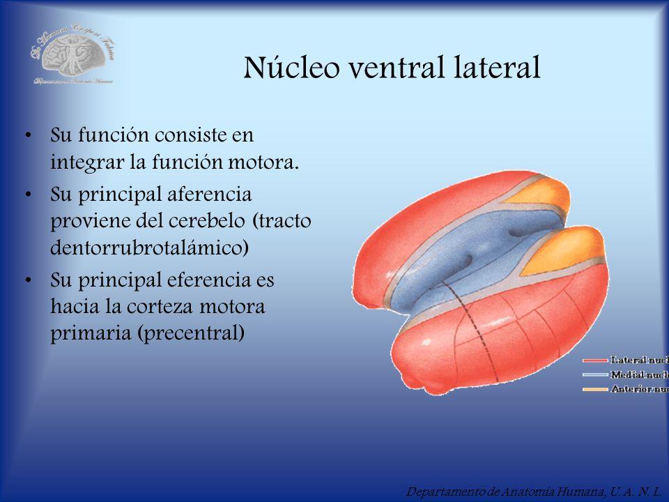 Departamento de Anatomía Humana, U. A. N. L. Núcleo ventral lateral Su función consiste en integrar la función motora. Su principal aferencia proviene