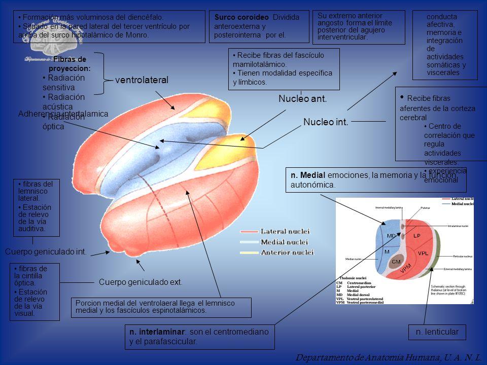 Departamento de Anatomía Humana, U. A. N. L. Formación más voluminosa del diencéfalo. Situado en la pared lateral del tercer ventrículo por arriba del