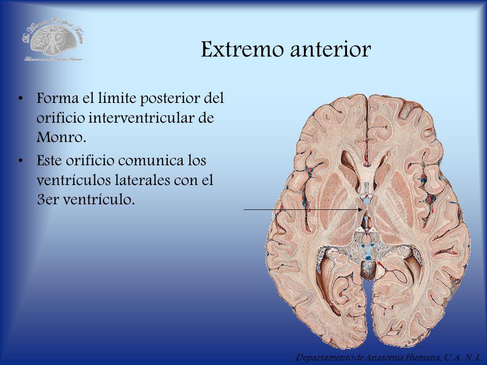 Departamento de Anatomía Humana, U. A. N. L. Extremo anterior Forma el límite posterior del orificio interventricular de Monro. Este orificio comunica
