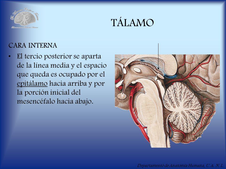 Departamento de Anatomía Humana, U. A. N. L. TÁLAMO CARA INTERNA El tercio posterior se aparta de la línea media y el espacio que queda es ocupado por