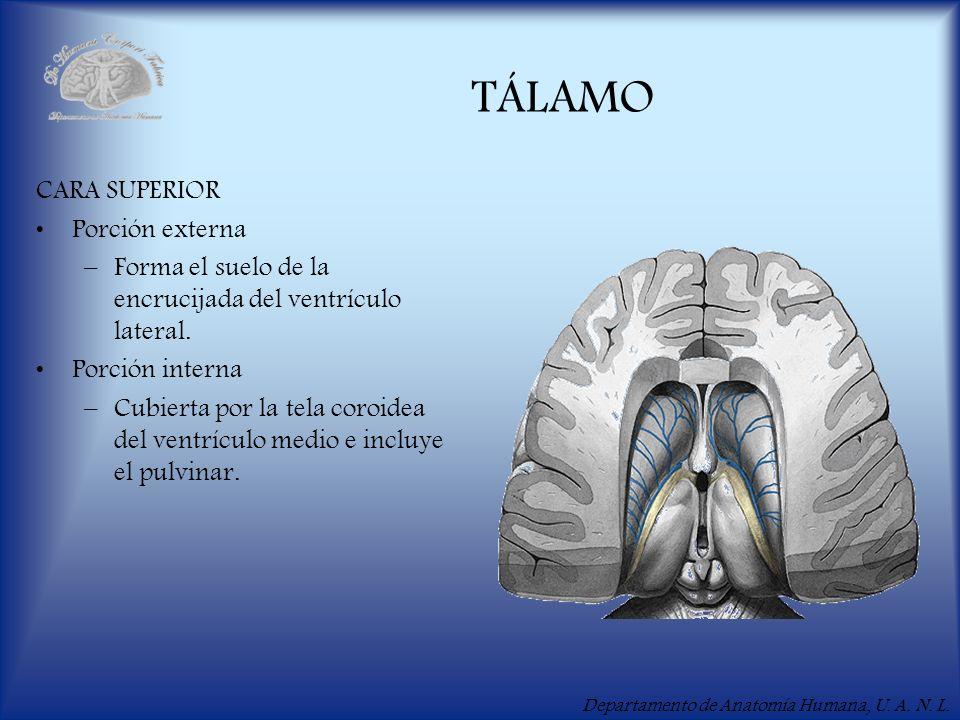 Departamento de Anatomía Humana, U. A. N. L. TÁLAMO CARA SUPERIOR Porción externa –Forma el suelo de la encrucijada del ventrículo lateral. Porción in