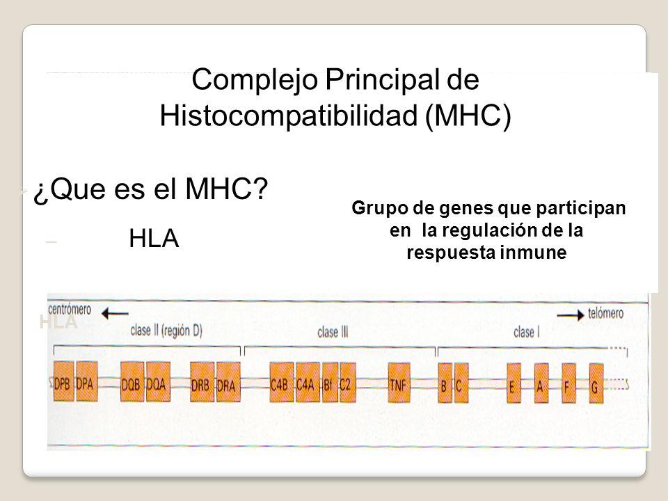 H-2 Murino HLA Complejo Principal de Histocompatibilidad (MHC) ¿Que es el MHC? – HLA Grupo de genes que participan en la regulación de la respuesta in