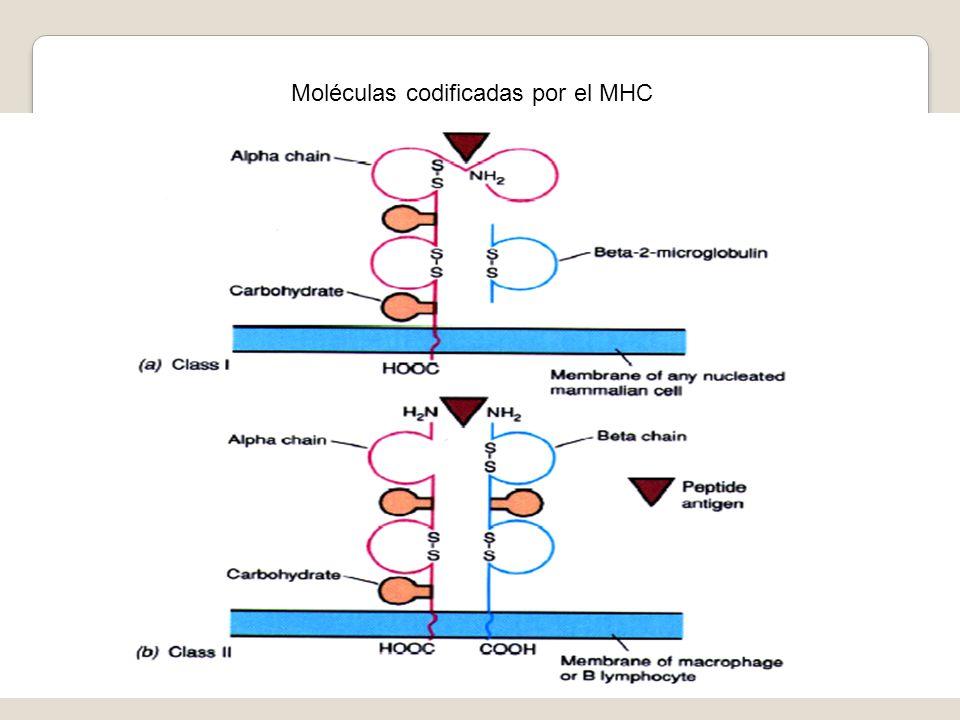 Moléculas codificadas por el MHC