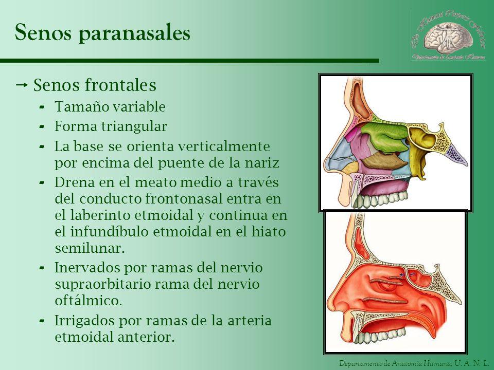 Departamento de Anatomía Humana, U. A. N. L. Senos paranasales Senos frontales - Tamaño variable - Forma triangular - La base se orienta verticalmente