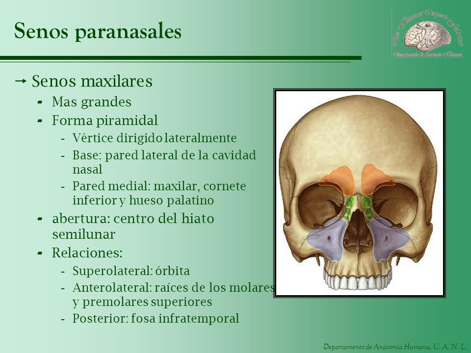 Departamento de Anatomía Humana, U. A. N. L. Senos paranasales Senos maxilares - Mas grandes - Forma piramidal -Vértice dirigido lateralmente -Base: p