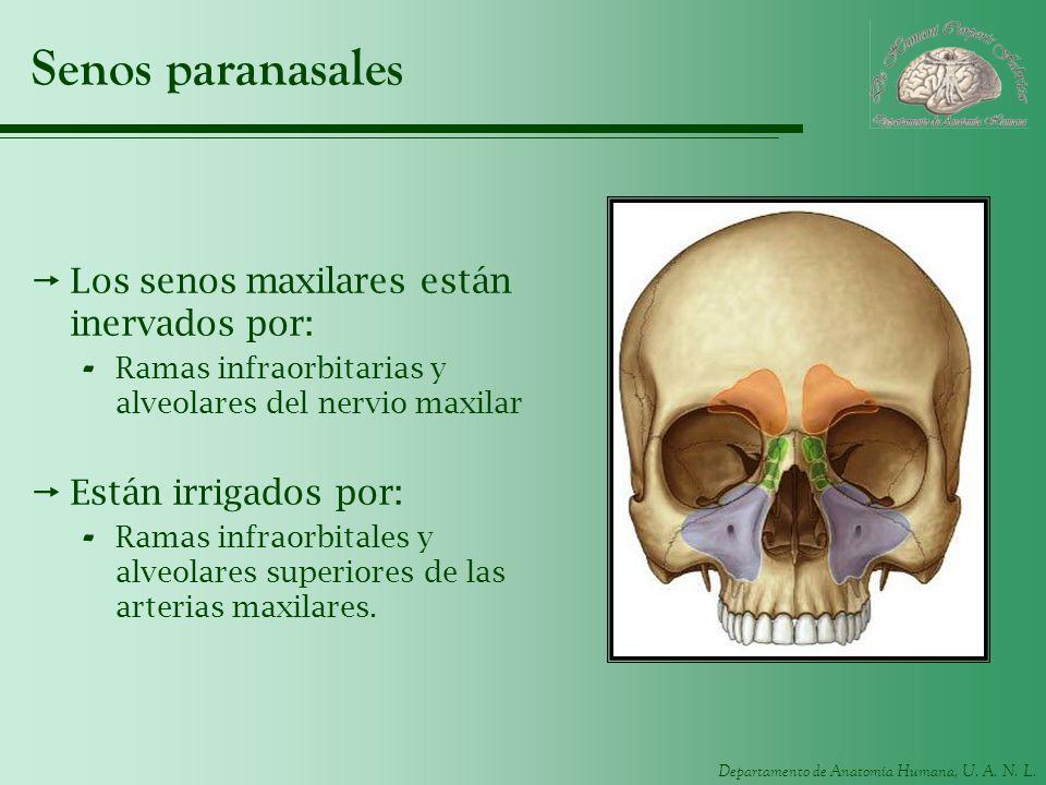 Departamento de Anatomía Humana, U. A. N. L. Senos paranasales Los senos maxilares están inervados por: - Ramas infraorbitarias y alveolares del nervi