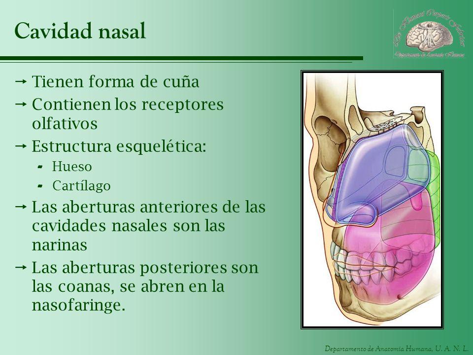 Departamento de Anatomía Humana, U. A. N. L. Cavidad nasal Tienen forma de cuña Contienen los receptores olfativos Estructura esquelética: - Hueso - C