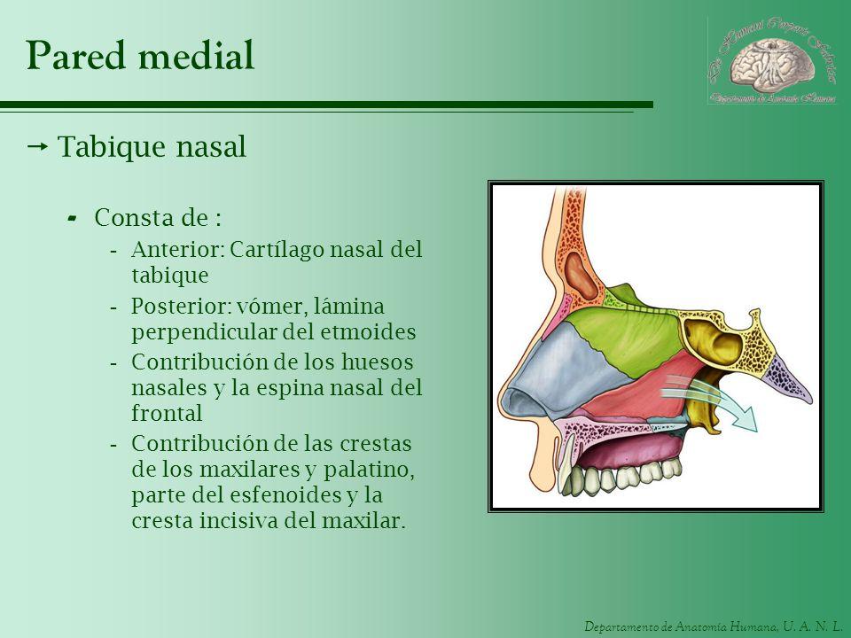 Departamento de Anatomía Humana, U. A. N. L. Pared medial Tabique nasal - Consta de : -Anterior: Cartílago nasal del tabique -Posterior: vómer, lámina