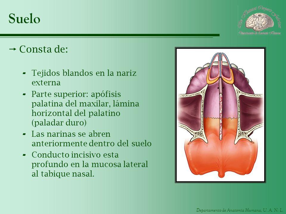 Departamento de Anatomía Humana, U. A. N. L. Suelo Consta de: - Tejidos blandos en la nariz externa - Parte superior: apófisis palatina del maxilar, l