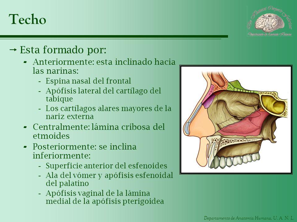 Departamento de Anatomía Humana, U. A. N. L. Techo Esta formado por: - Anteriormente: esta inclinado hacia las narinas: -Espina nasal del frontal -Apó