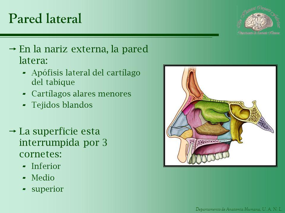 Departamento de Anatomía Humana, U. A. N. L. Pared lateral En la nariz externa, la pared latera: - Apófisis lateral del cartílago del tabique - Cartíl