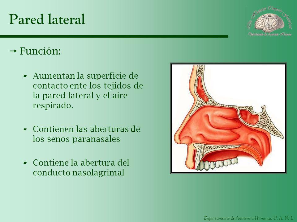 Departamento de Anatomía Humana, U. A. N. L. Pared lateral Función: - Aumentan la superficie de contacto ente los tejidos de la pared lateral y el air