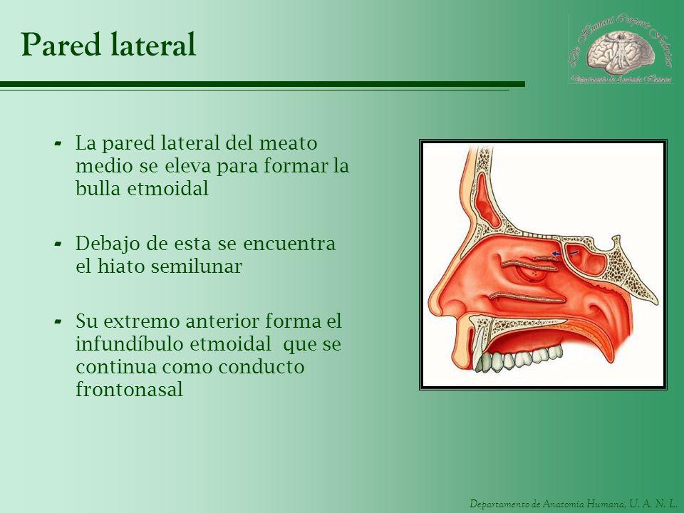 Departamento de Anatomía Humana, U. A. N. L. Pared lateral - La pared lateral del meato medio se eleva para formar la bulla etmoidal - Debajo de esta