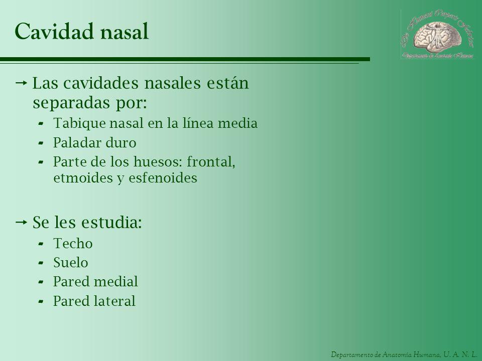 Departamento de Anatomía Humana, U. A. N. L. Cavidad nasal Las cavidades nasales están separadas por: - Tabique nasal en la línea media - Paladar duro