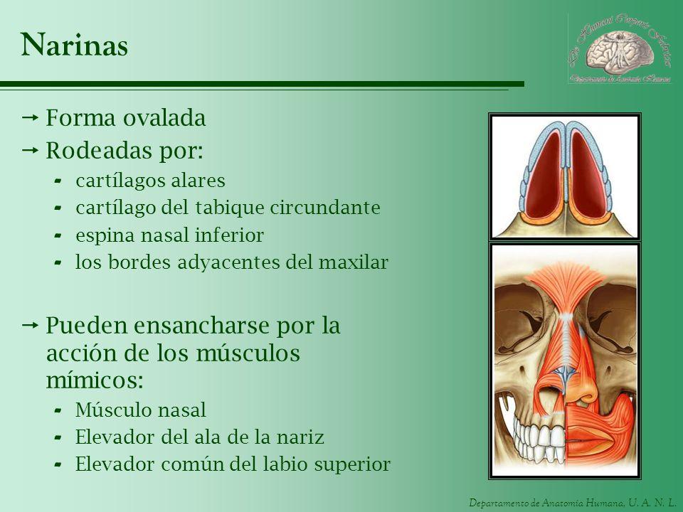 Departamento de Anatomía Humana, U. A. N. L. Narinas Forma ovalada Rodeadas por: - cartílagos alares - cartílago del tabique circundante - espina nasa