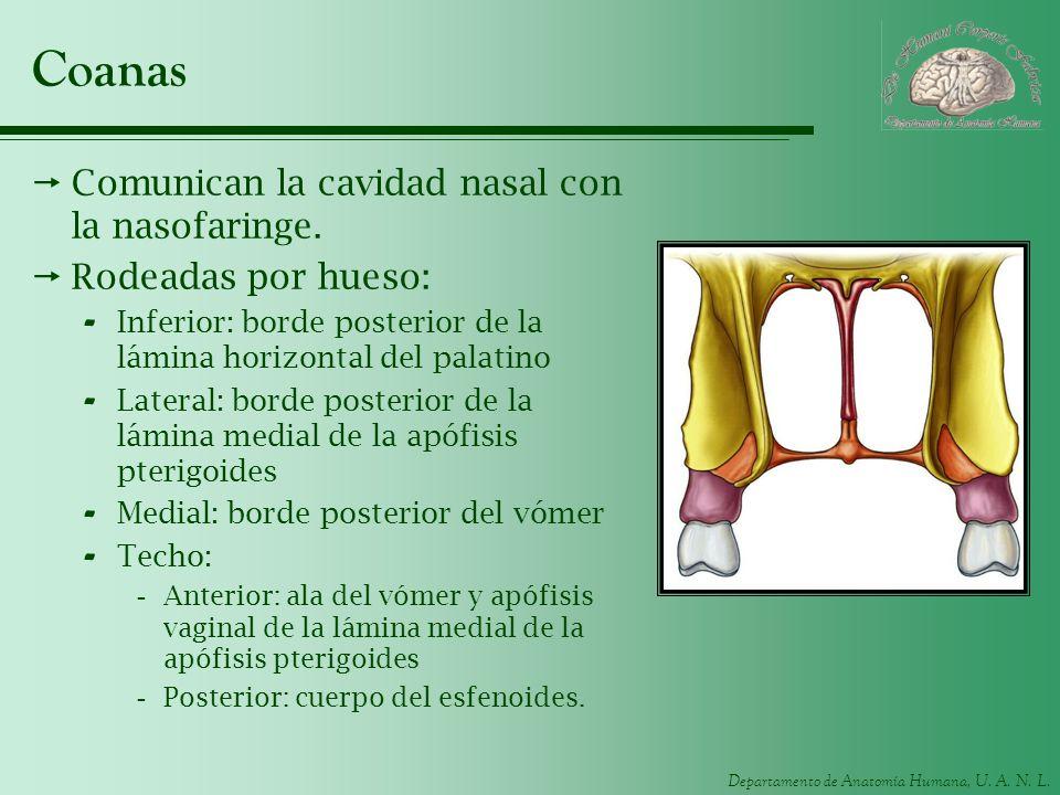 Departamento de Anatomía Humana, U. A. N. L. Coanas Comunican la cavidad nasal con la nasofaringe. Rodeadas por hueso: - Inferior: borde posterior de