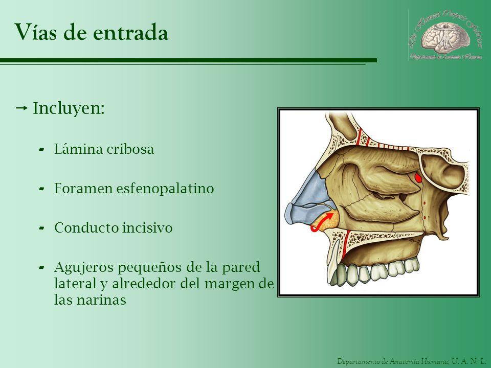 Departamento de Anatomía Humana, U. A. N. L. Vías de entrada Incluyen: - Lámina cribosa - Foramen esfenopalatino - Conducto incisivo - Agujeros pequeñ