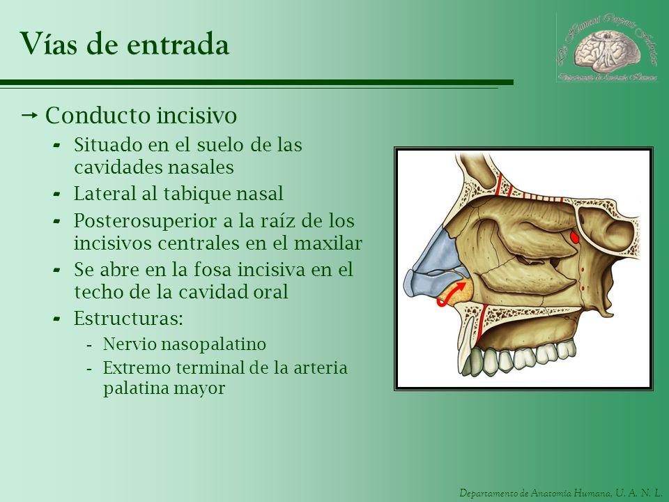 Departamento de Anatomía Humana, U. A. N. L. Vías de entrada Conducto incisivo - Situado en el suelo de las cavidades nasales - Lateral al tabique nas