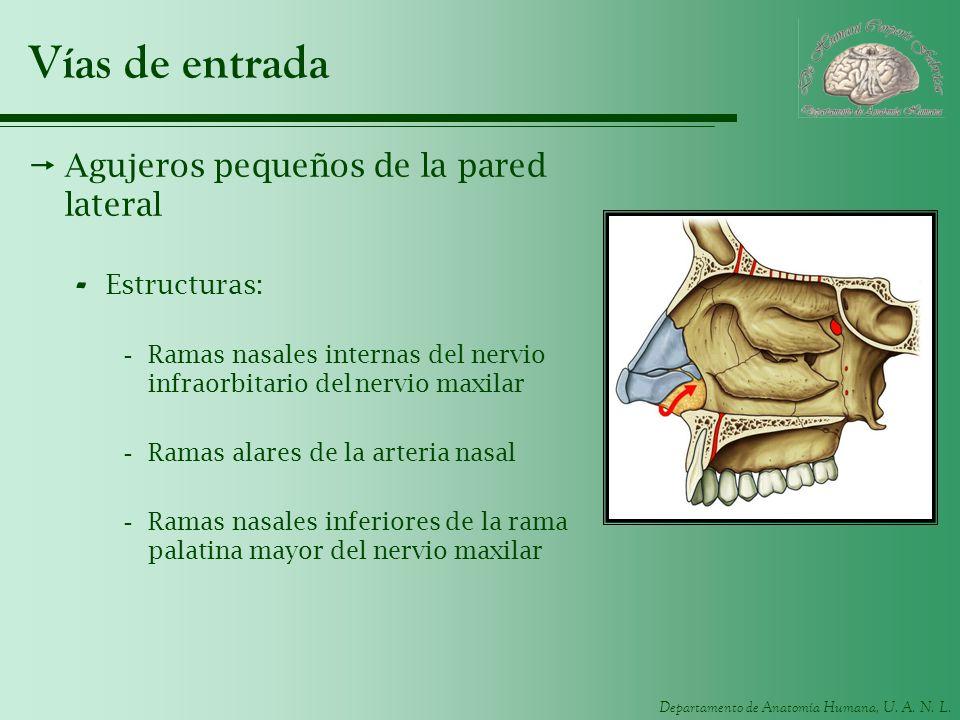 Departamento de Anatomía Humana, U. A. N. L. Vías de entrada Agujeros pequeños de la pared lateral - Estructuras: -Ramas nasales internas del nervio i