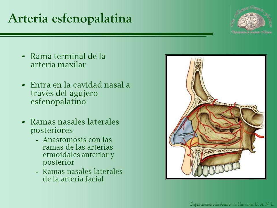 Departamento de Anatomía Humana, U. A. N. L. Arteria esfenopalatina - Rama terminal de la arteria maxilar - Entra en la cavidad nasal a través del agu