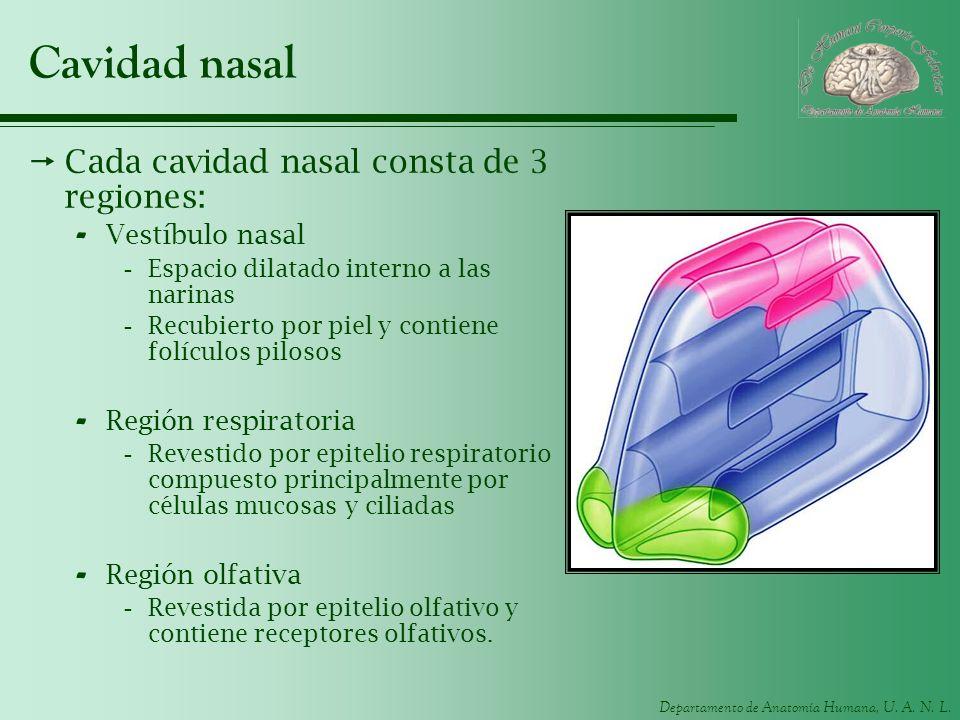 Departamento de Anatomía Humana, U. A. N. L. Cavidad nasal Cada cavidad nasal consta de 3 regiones: - Vestíbulo nasal -Espacio dilatado interno a las