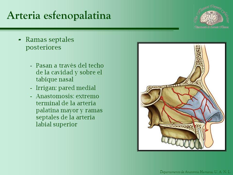 Departamento de Anatomía Humana, U. A. N. L. Arteria esfenopalatina - Ramas septales posteriores -Pasan a través del techo de la cavidad y sobre el ta