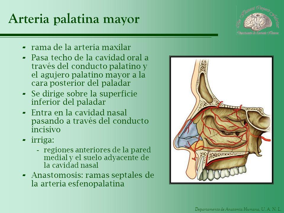 Departamento de Anatomía Humana, U. A. N. L. Arteria palatina mayor - rama de la arteria maxilar - Pasa techo de la cavidad oral a través del conducto