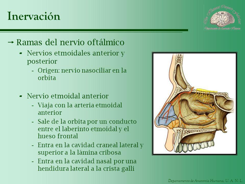 Departamento de Anatomía Humana, U. A. N. L. Inervación Ramas del nervio oftálmico - Nervios etmoidales anterior y posterior -Origen: nervio nasocilia