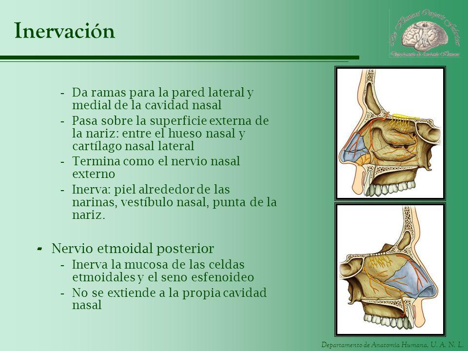 Departamento de Anatomía Humana, U. A. N. L. Inervación -Da ramas para la pared lateral y medial de la cavidad nasal -Pasa sobre la superficie externa
